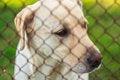 Free Yellow Labrador Retriever Royalty Free Stock Image - 32297966