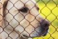 Free Yellow Labrador Retriever Stock Photo - 32297980