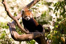 Free Red Panda Stock Images - 32291374