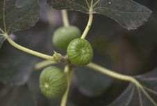 Free The Figs Royalty Free Stock Photos - 32293178