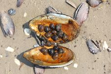 Free Freshwater Mussel Shell Full Of Snails Royalty Free Stock Photos - 32294188