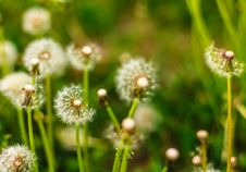 Fresh Spring Green Grass And Dandelions Stock Image