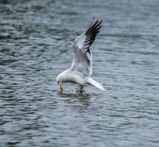 Free Lesser Black Backed Gull Stock Photo - 32296830