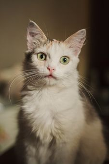 Free White Kitten Stock Images - 32297834