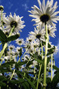 Free Camomiles And Blue Sky Stock Image - 3231851