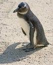 Free Jackass Penguin 1 Stock Photo - 3232450