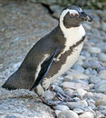 Free Jackass Penguin 3 Royalty Free Stock Images - 3233089