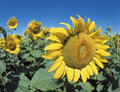 Free Sunflowers Royalty Free Stock Photo - 3233255