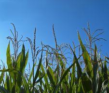 Free Corn Royalty Free Stock Photos - 3230688