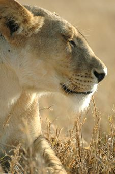 Free Lion Queen Stock Photos - 3231013