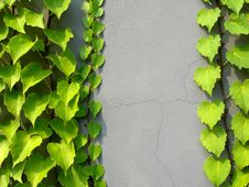 Free Green Ivy On A Grey Wall Stock Photos - 3231403