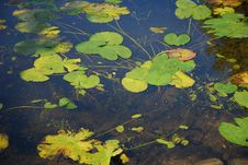 Free Green Leaves On а Water Stock Images - 3231774