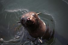 Free Sea Lion Stock Photos - 3232533