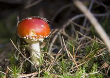 Free Toadstool In Forest Royalty Free Stock Photos - 3233058