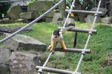 Free Squirrel Monkey Royalty Free Stock Photography - 3233577