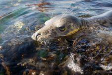 Free Seal Among Seaweed (Close Up) Stock Photos - 3233693