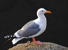 Free Seagull On A Rock Royalty Free Stock Image - 3234306