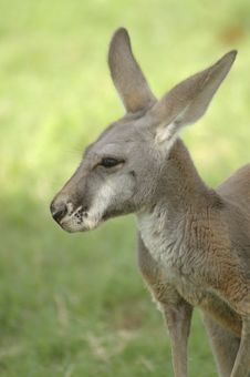 Free Roo Royalty Free Stock Image - 3235676