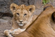 Cute Lion Cub Stock Photo