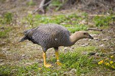 Free Pheasant Stock Photo - 3235980