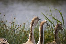 Free Goose Royalty Free Stock Photo - 3236325