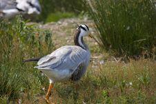 Free Goose Stock Photo - 3236520