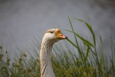 Free Goose Royalty Free Stock Photo - 3236785