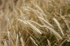 Rye Field. Royalty Free Stock Photo