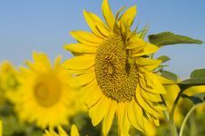 Free Colourful Sunflower Stock Photos - 3237753