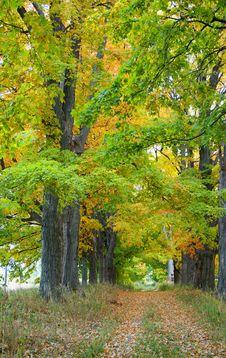Free Maple Leaf Trees On Autumn Stock Photos - 3238223