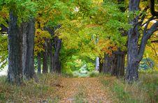 Free Maple Leaf Trees On Autumn Royalty Free Stock Photos - 3238238