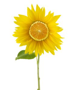 Free Orange Sunflower Stock Photos - 3239413