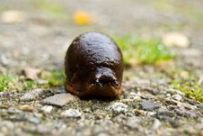Free Snail With Focus On The Eyes Royalty Free Stock Photography - 3239987