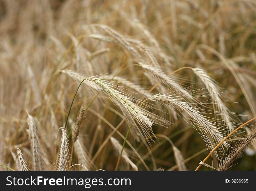 Rye field.
