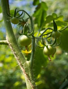 Free Green Tomatos Growing Royalty Free Stock Photography - 32312887