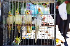 Free Parrots Royalty Free Stock Photos - 32316798