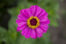 Free Pink-and-yellow Gerbera Stock Photography - 32319582