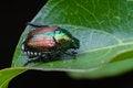 Free Japanese Beetle On A Leaf Stock Photo - 32320230