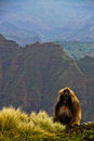 Free Gelada Baboons Royalty Free Stock Image - 32323036