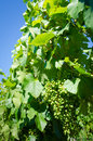 Free Clusters Of Young Malbec Grapes Stock Images - 32323684