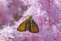 Free Butterfly &x28;Hesperiidae&x29;. Stock Photography - 32323702