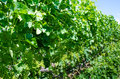 Free Clusters Of Young Pinot Gris Grapes Stock Photo - 32323960