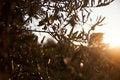 Free Olive Tree Closeup Stock Image - 32324701