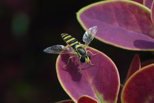 Free Striped Black And Yellow Fly Sitting On The Purple Leaf Macro Photo Stock Photography - 32320922
