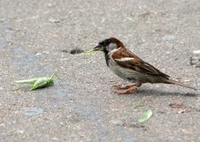 Free The House Sparrow Is Eating Big Green Grasshopper Royalty Free Stock Photo - 32323005