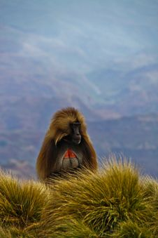 Free Gelada Baboons Stock Photo - 32323020