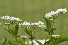 Free Flower Of Sambucus Royalty Free Stock Image - 32323556
