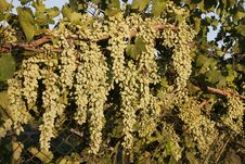 Grapes On A Fence Royalty Free Stock Photography