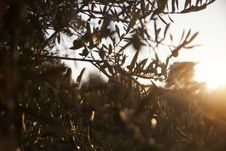 Free Olive Tree Closeup Stock Image - 32324701