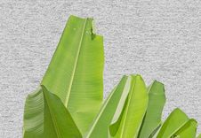 Bright Banana Leaf On Wooden Wall Background Stock Photos